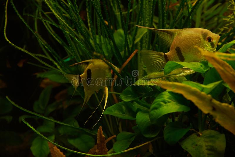 Aquarium fish Scalia on a background of alga. Aquarium fish Scalia lat. Pterophyllum on a background of algae royalty free stock photography