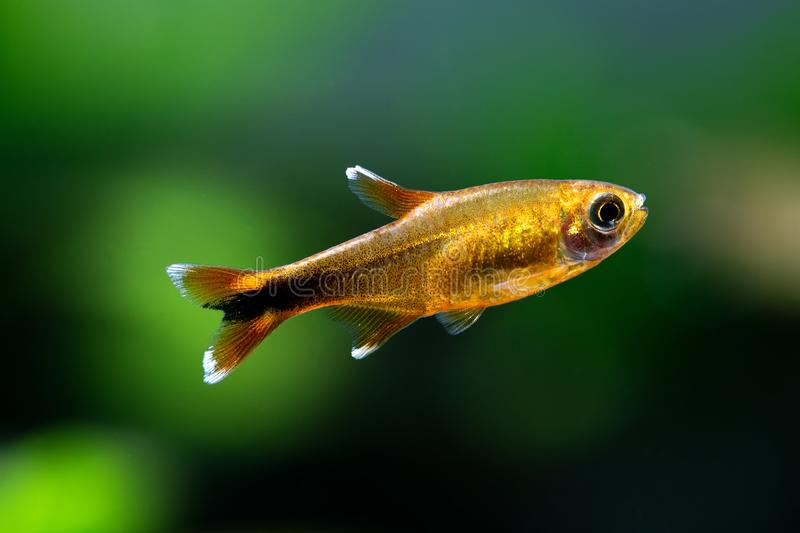 Aquarium fish Silver Tipped Tetra. Macro view orange gold color fish pattern, soft focus, green blurred background. royalty free stock photo