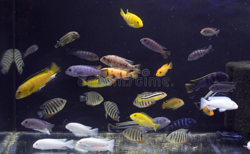 Aquarium full of coloured fishes royalty free stock photography