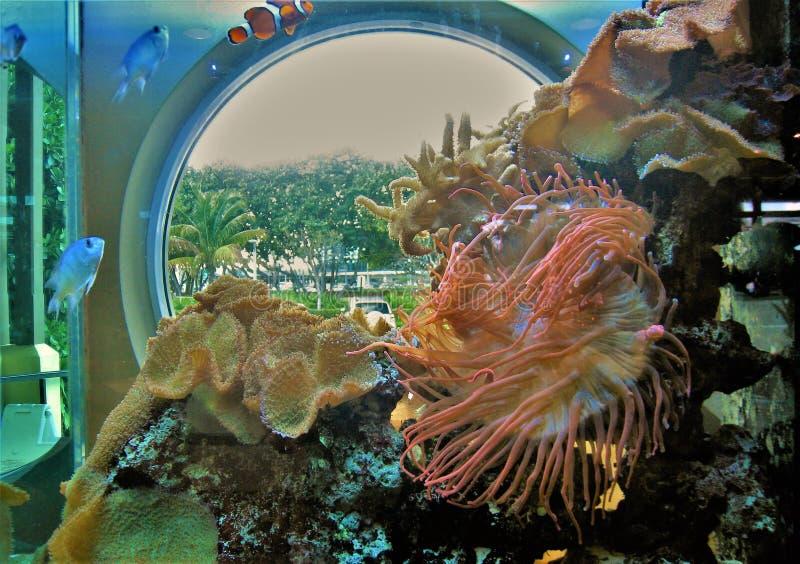 Aquarium at Loggerhead Marinelife Center. Anemones in the aquarium at the Loggerhead Marinelife Center, a non-profit organization in Juno Beach, Florida that royalty free stock photography