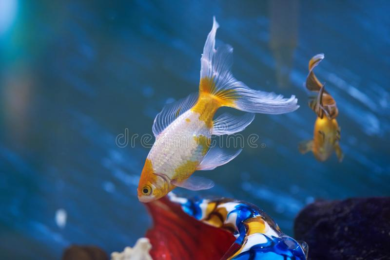 Aquarium met gouden vissen royalty-vrije stock fotografie