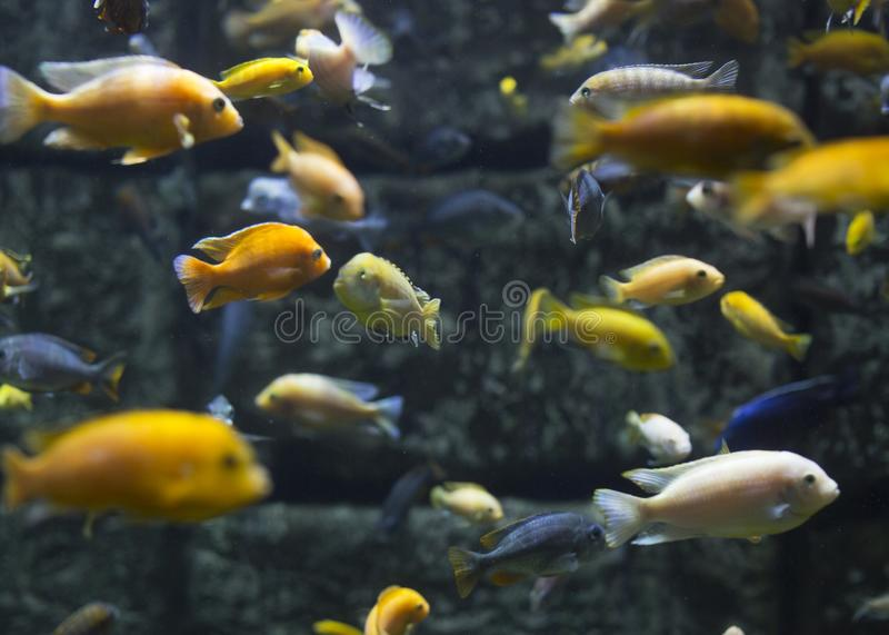 Aquarium mit einem anderen tropischen Fisch Cents dollars lizenzfreies stockfoto