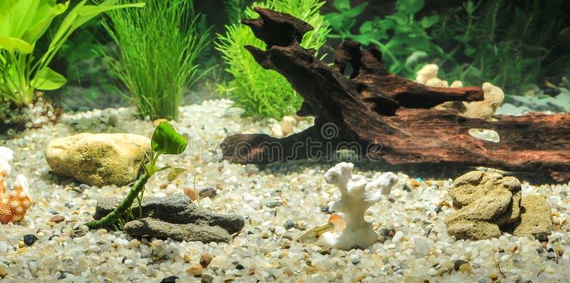 Aquarium mit Fischen, natürlichen Anlagen und Felsen Tropische Fische Aquarium mit Grünpflanzen lizenzfreies stockfoto