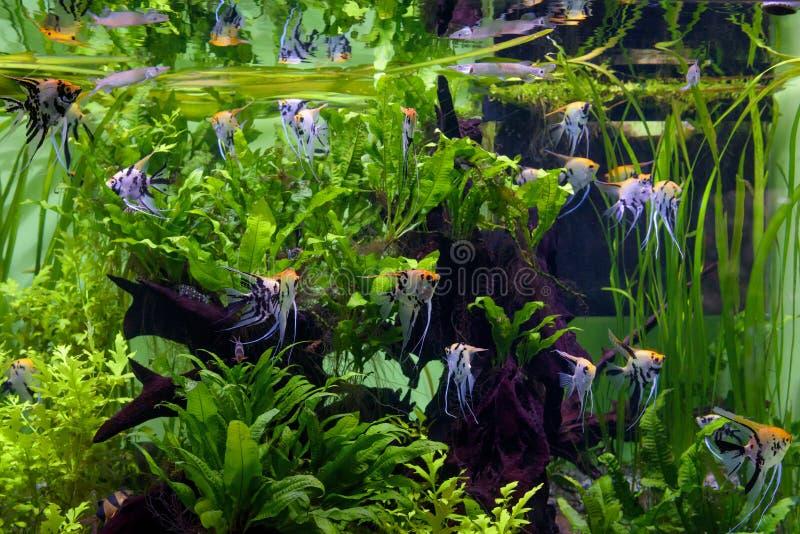 Aquarium mit schönen Fischen und Grünpflanzen stockfoto