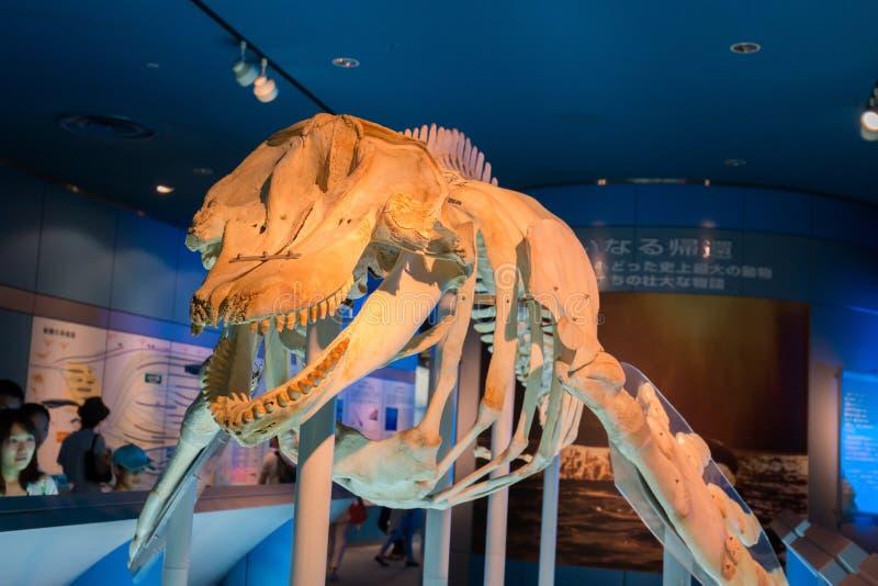 Aquarium and Museum, located in Port of Nagoya, whales skeleto. NAGOYA, JAPAN - JUNE 18 2016: Aquarium and Museum, located in Port of Nagoya, whales skeletons stock photo