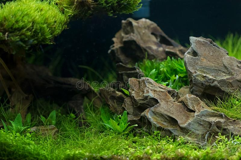 Aquarium plants decoration, aquatic fern and aquarium plant grow. Th in aquarium tank royalty free stock image