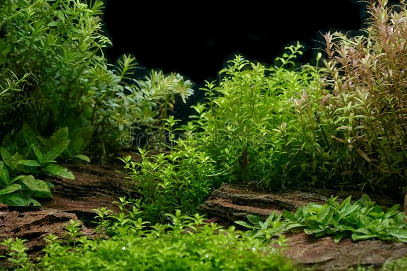 Aquarium plants decoration, aquatic fern and aquarium plant grow. Th in aquarium tank stock image