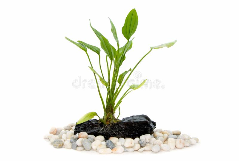 Aquarium plants on small driftwood. With rocks royalty free stock photos