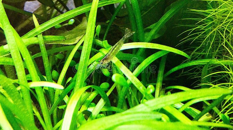Transparent Shrimp in aquarium plant. stock photos