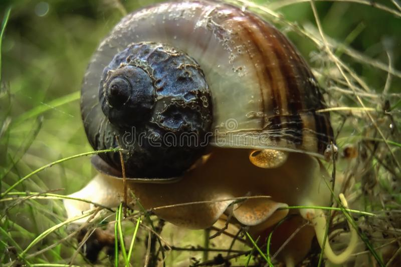 Aquarium snail closeup view royalty free stock image