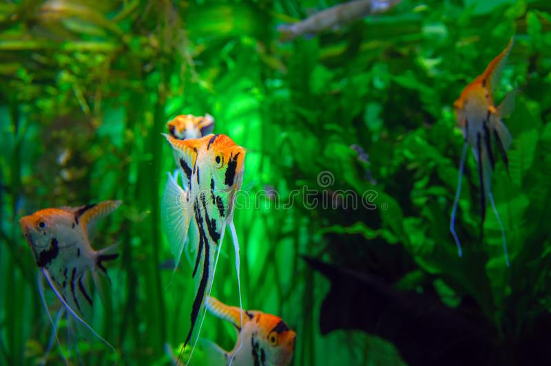 Aquarium with tropical cichlids amazing fish Scalare pterophyllum. Exotic beautiful fish on a background of bright green algae. stock photography