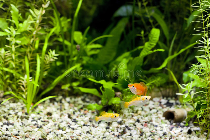 Aquarium Tropical Community. Cremecicle Lyretail Molles and Red Wag Swordtail and swimming in planted fish tank; focus on yellow fishes stock photos