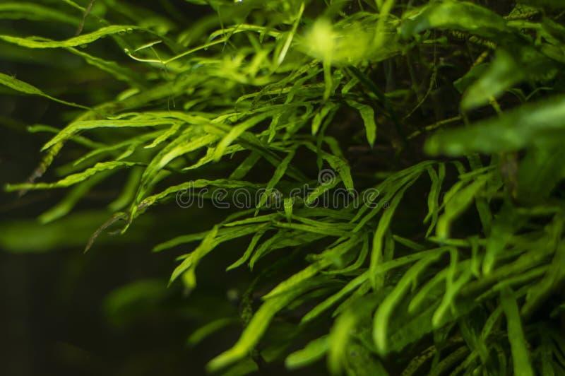 Aquariumalgen, elementen van flora in het aquarium stock foto's