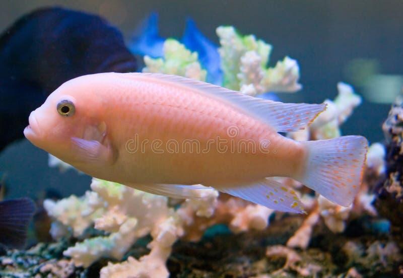 Aquariumfische 5 lizenzfreie stockbilder