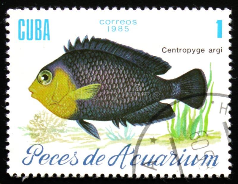 Aquariumfische Centropyge-argi, circa 1985 stockfoto