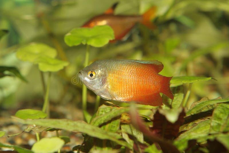 Aquariumfische, Colisa lalius stockfotos
