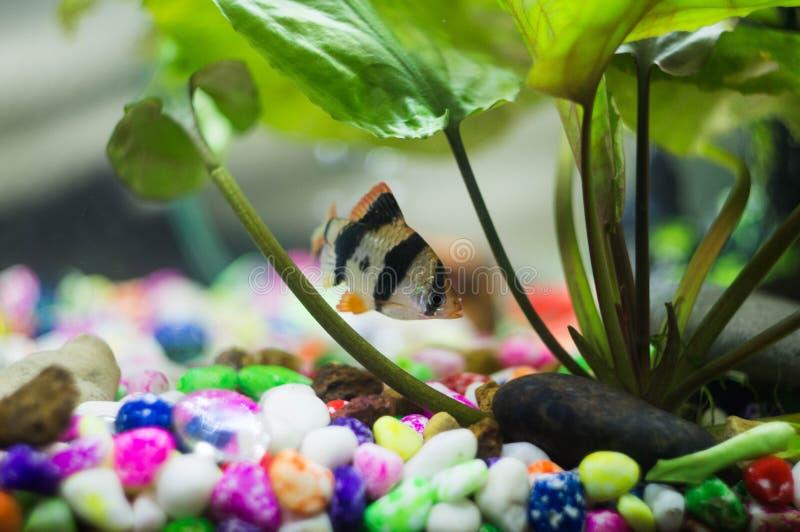 Aquariumfische in den Algen stockbild