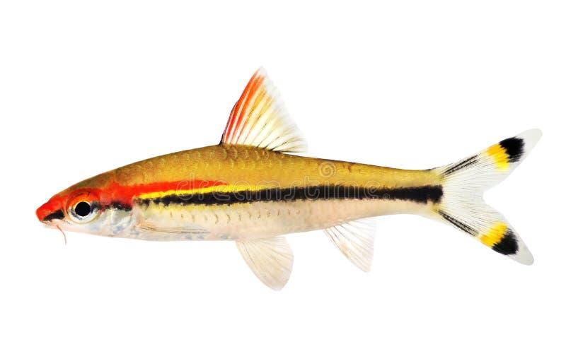 Aquariumfische Denisons Widerhaken Roseline Shark Sahyadria-denisonii lokalisiert auf Weiß stockfoto