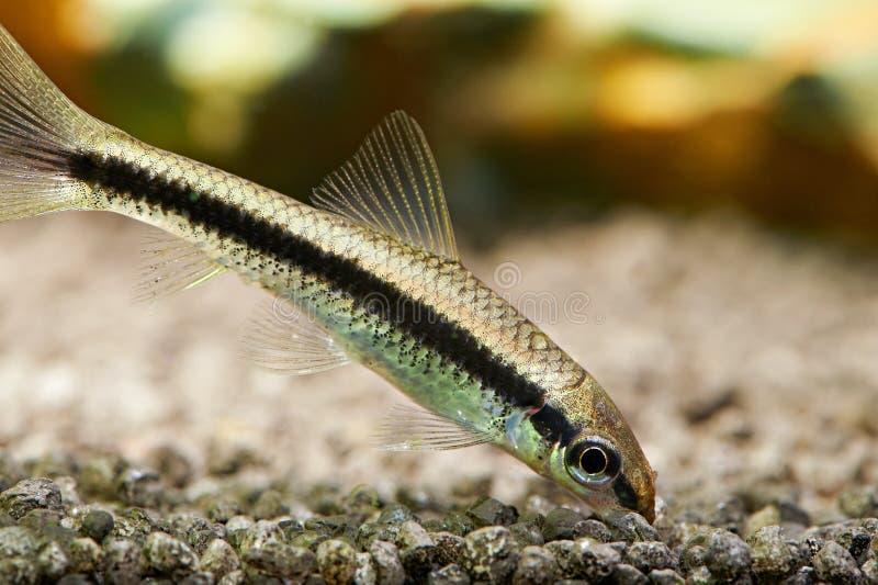 Aquariumfische. Siamesischer Algenesser stockfotos