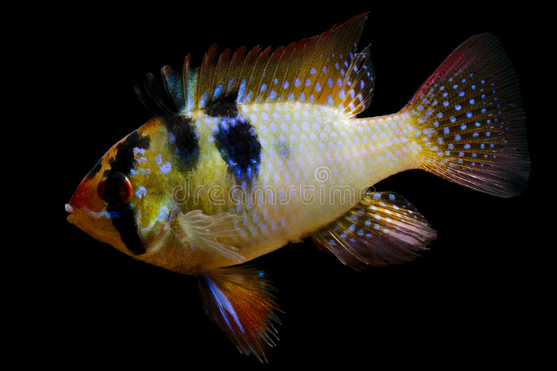 Aquariumfish Ram cichlid royalty free stock photos