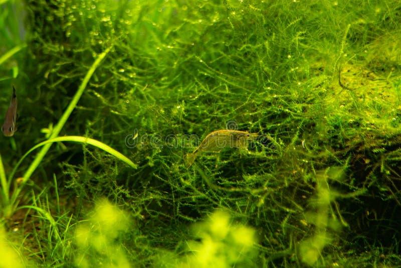 Aquariumgrünalgen, Elemente der Flora im Aquarium lizenzfreies stockfoto