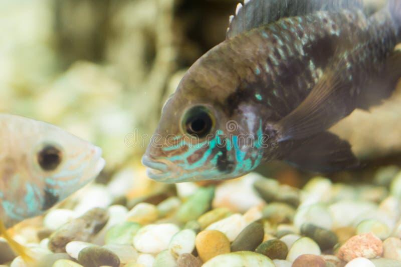 Aquariumvissen dwergcichlid Apistogrammanijsseni is species van cichlidvissen, endemisch aan hoogst beperkt lokaal zwart water Ha royalty-vrije stock afbeelding