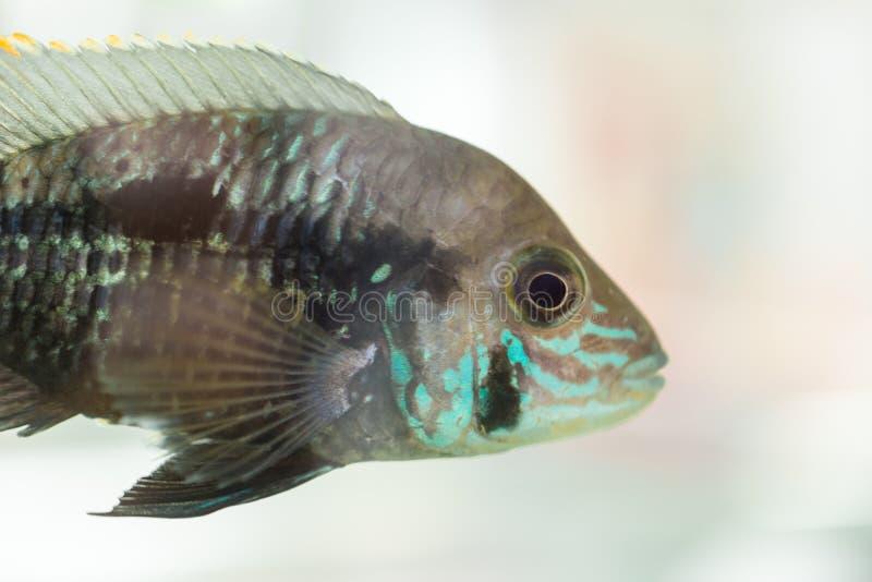 Aquariumvissen dwergcichlid Apistogrammanijsseni is species van cichlidvissen, endemisch aan hoogst beperkt lokaal zwart water Ha stock fotografie
