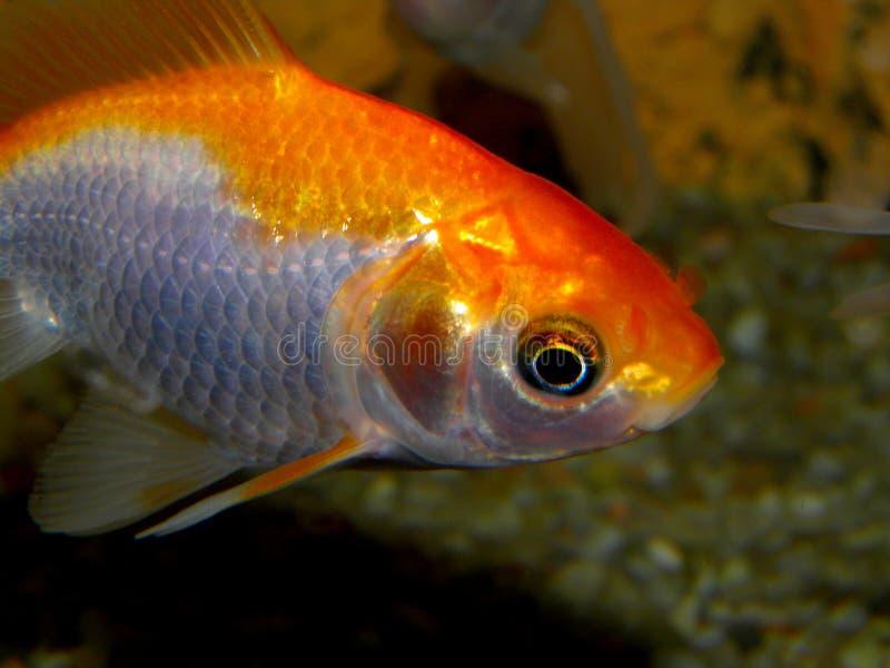 Aquariumvissen van Azië Goudvis royalty-vrije stock foto