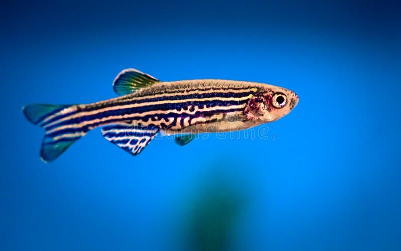 Aquariumvissen zebrafish stock afbeelding