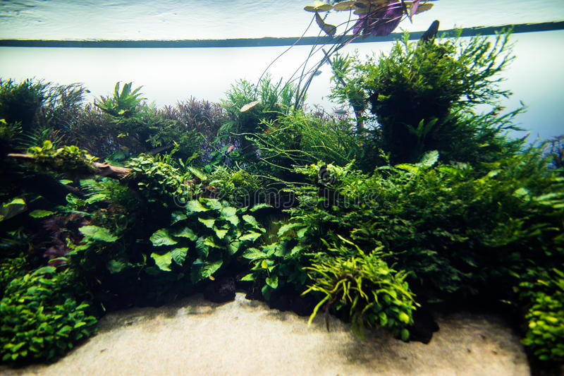 Download Aquascaping Of The Beautiful Planted Tropical Freshwater Aquarium.  Aquaworld Stock Photo   Image Of