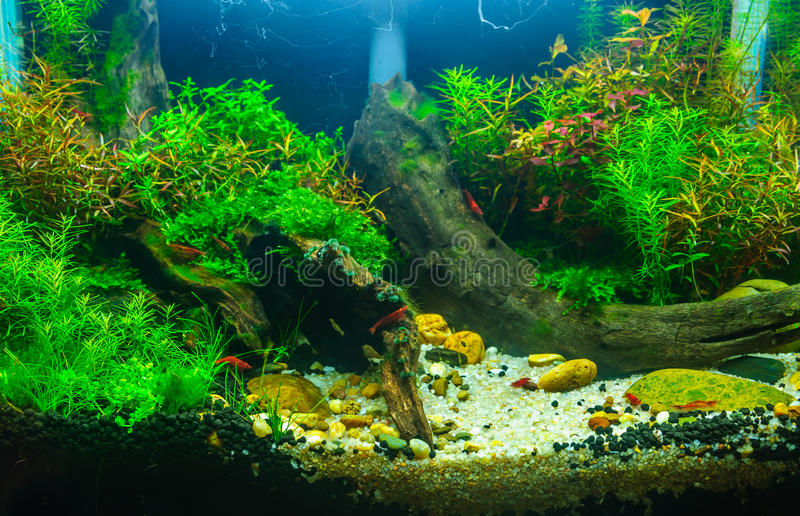 Download Aquascaping Of The Planted Aquarium Stock Photo   Image Of Pets,  Green: 35914148