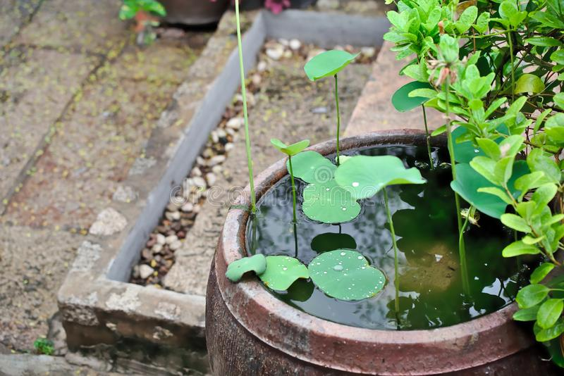 Lotus leaves in the garden stock image