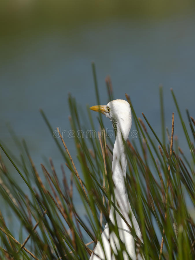 Download Aquatic Bird Surrounded Royalty Free Stock Photography - Image: 26474357