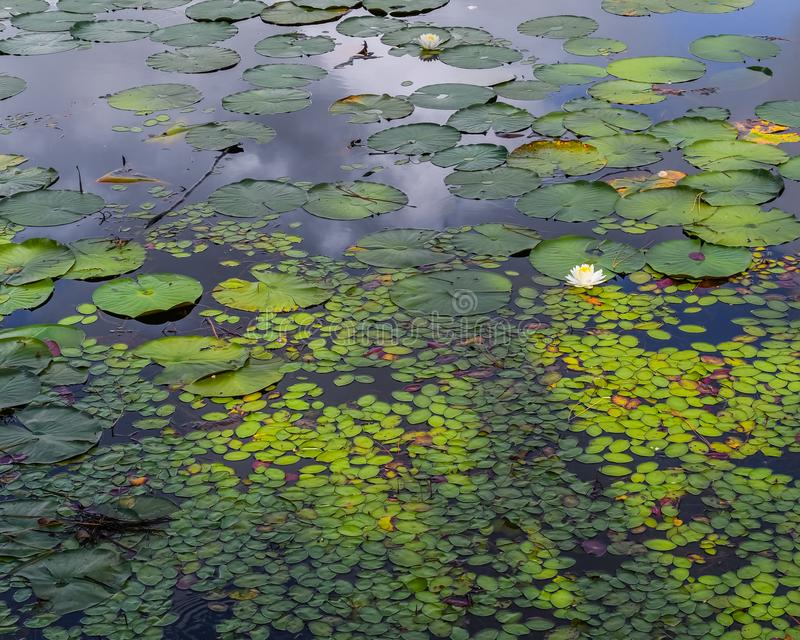 Water Lily Pad and Duck Weed Garden stock photography