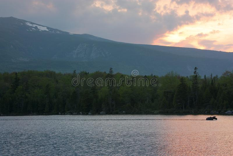 Aquatic Moose Trail royalty free stock photo