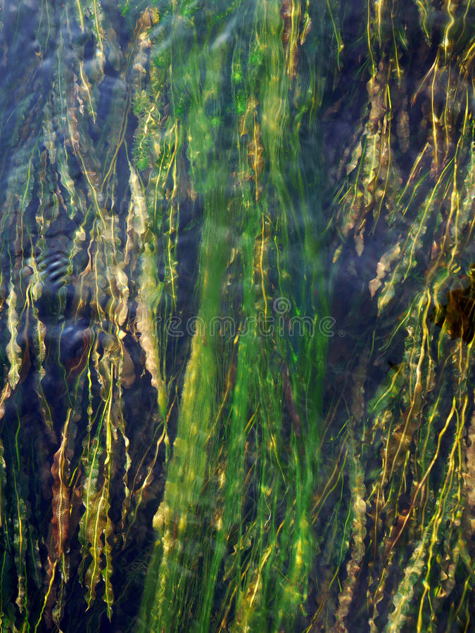 Aquatic Plant In Blue River Royalty Free Stock Images