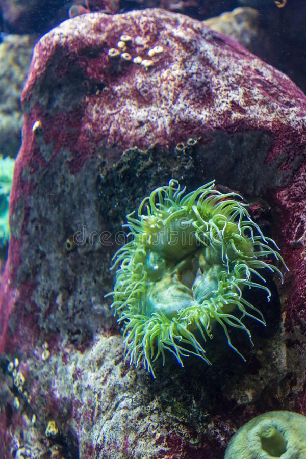 Aquatic Plants and Bubble-tip Anemone inside Aquarium stock images