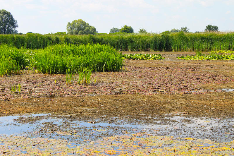 Aquatic plants in a swamp. Aquatic plants in the swamp stock photo