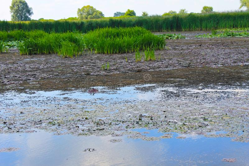 Aquatic plants in a swamp. Summer landscape stock photography