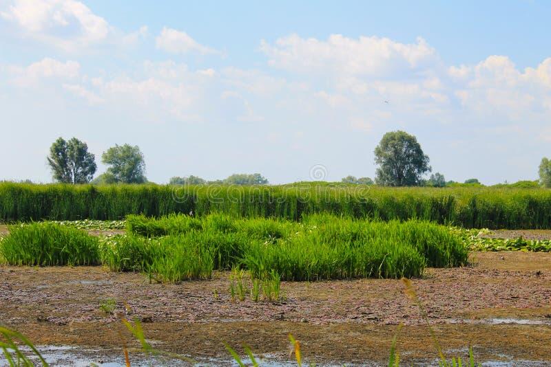 Aquatic plants in a swamp. Summer landscape stock image