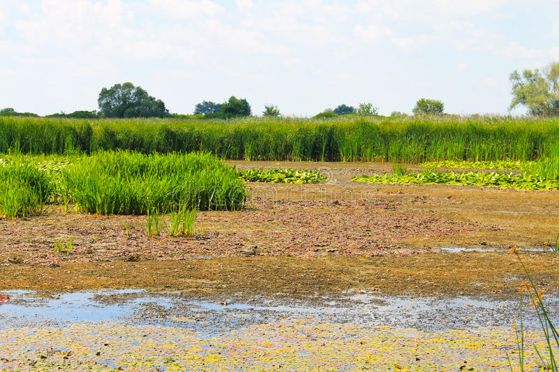 Aquatic plants in a swamp. Summer landscape royalty free stock images