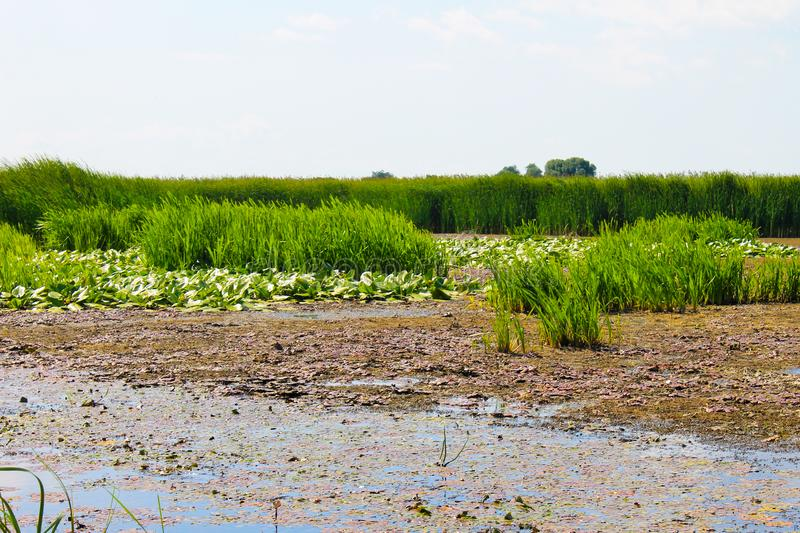 Aquatic plants in a swamp. Summer landscape royalty free stock image
