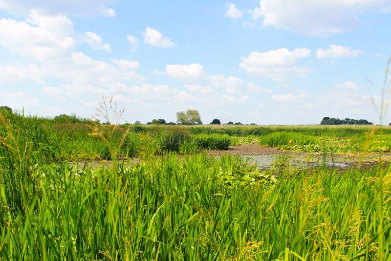Aquatic plants in a swamp. Summer landscape stock photos