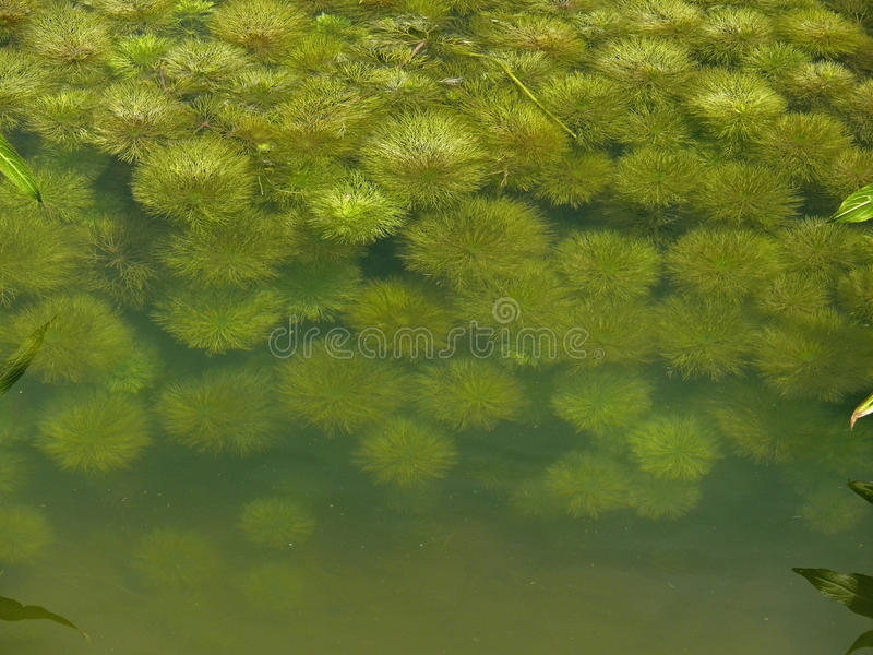 Aquaticum de Myriophyllum photographie stock