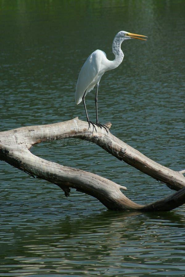 Aquatische vogel royalty-vrije stock afbeelding