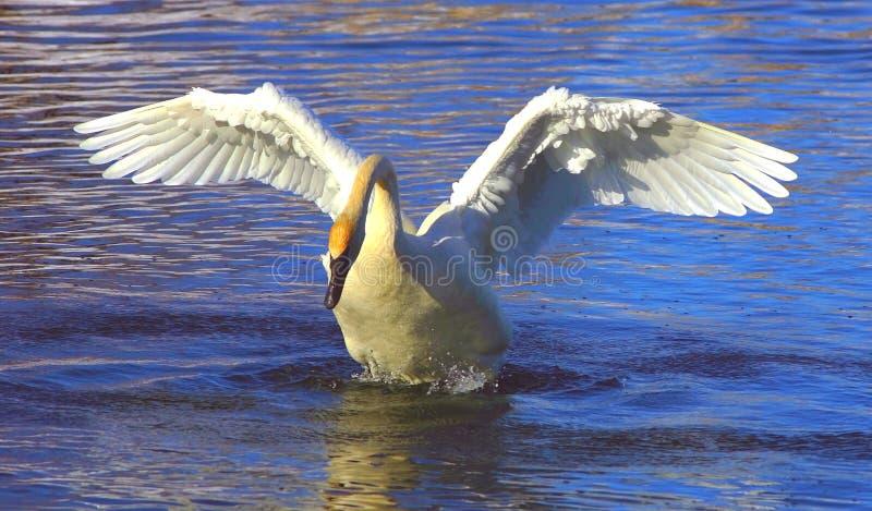 Download Aquecimento foto de stock. Imagem de rios, cisne, animais - 544312