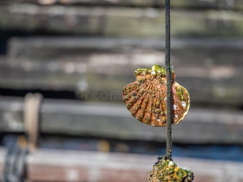 Aquiculture, mollusques et crustacés Verger d'O, Pontevedra, Espagne photographie stock