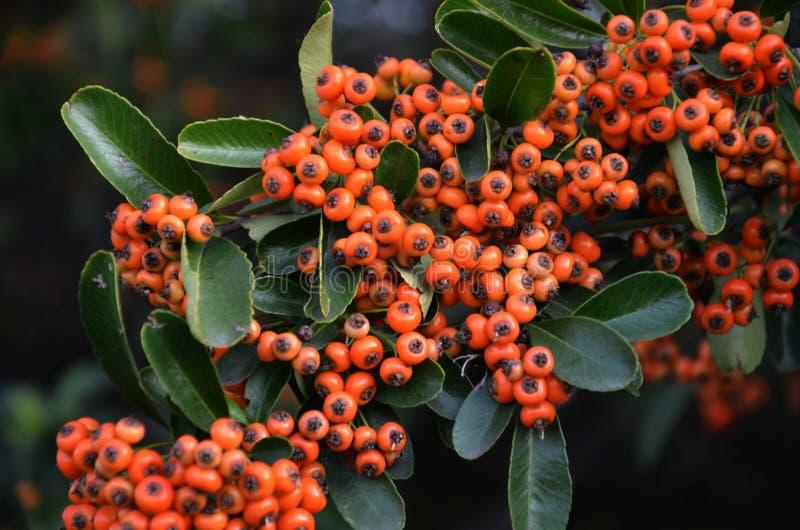 Aquifoliaceae, Fruit, Berry, Plant Free Public Domain Cc0 Image