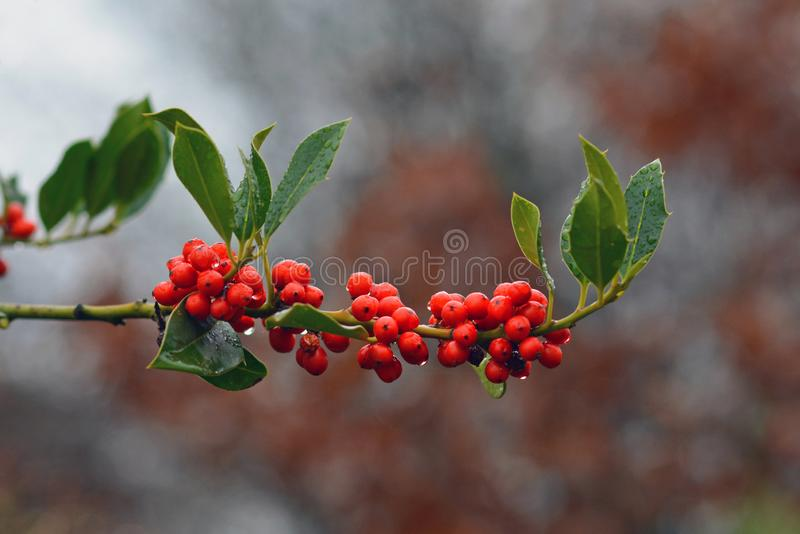Aquifoliaceaev Ilex common Holly cultivar JC van Tol plant with red berries and falling raindrops. Branch of Aquifoliaceaev Ilex common Holly cultivar JC van Tol royalty free stock image