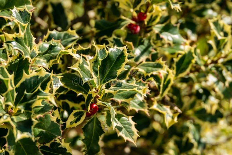Aquifolium Argentea Marginata Ilex ελαιόπρινου Χριστουγέννων στο υπόβαθρο θαμπάδων Χαριτωμένα πλαισιωμένα φύλλα με τα κόκκινα μού στοκ φωτογραφία